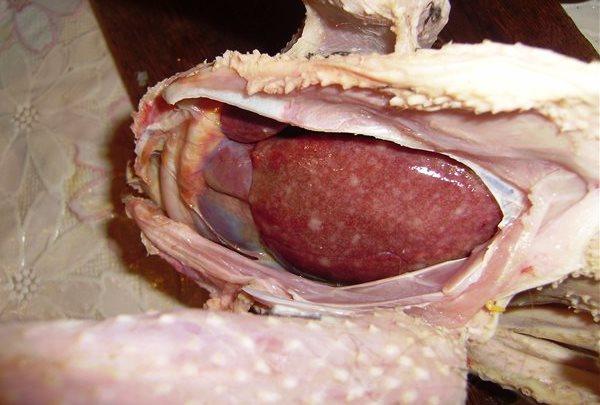 Кокцидиоз у кур: лечение и профилактика заболевания